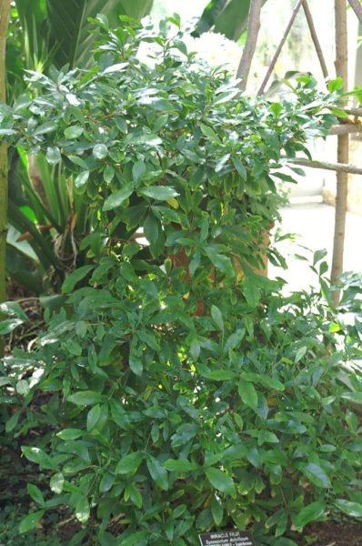 Plants de Synsepalum dulcifum